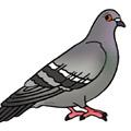 Сoloring pages - Pigeon
